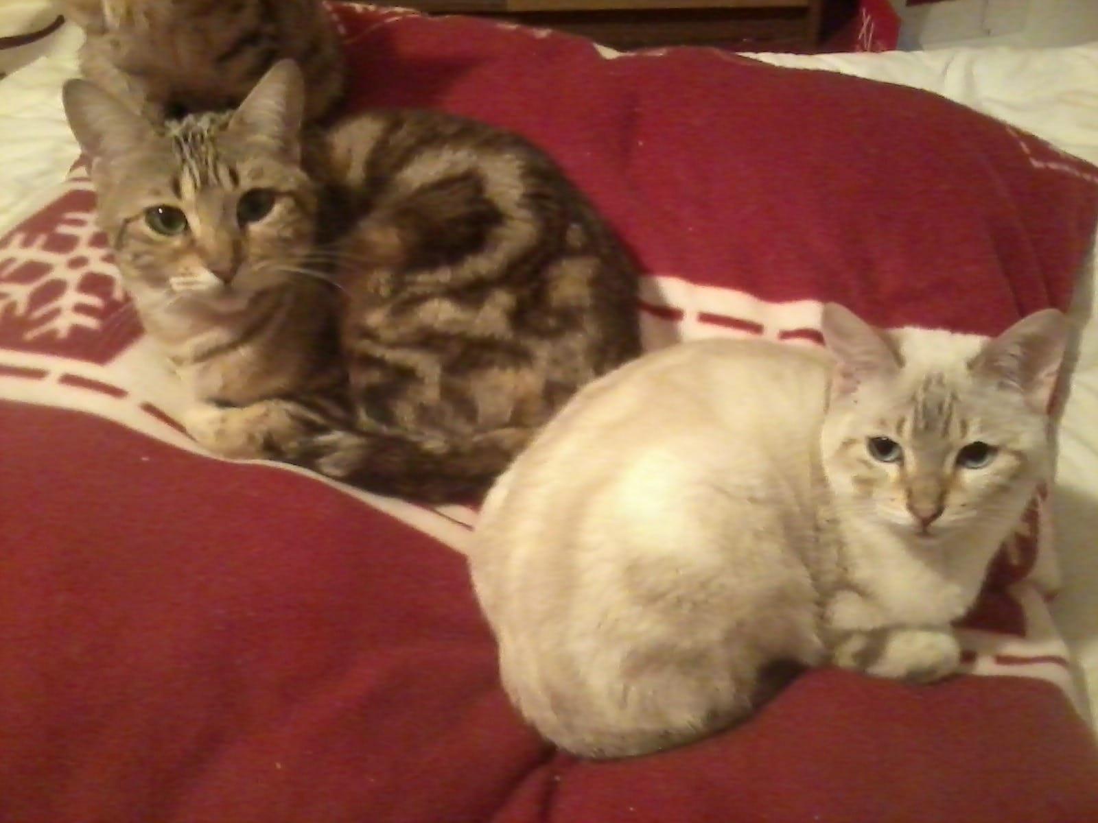 Zauberhafte,reinrassige Bengalen Kitten in... (Uelzen, Lüneburger ...